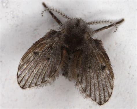 drain flies how to get rid of moth flies www imgkid com the image kid has it
