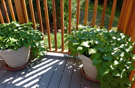 How To Grow Sweet Potatoes In Pots Or Containers The