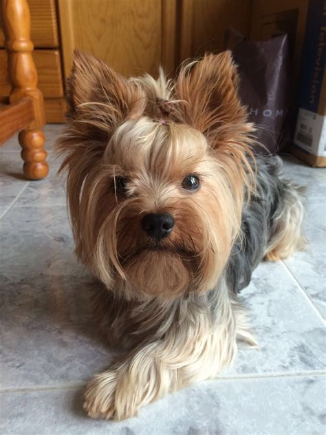 Yorkshire Terrier - Wikiwand