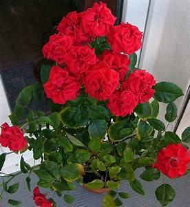 Pflanze Mit Stacheln : das leben ist bunt stacheln der rose ~ Frokenaadalensverden.com Haus und Dekorationen