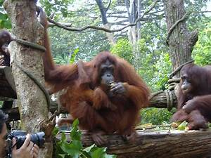 Orangutan breakfast at Singapore zoo | I want to go back ...