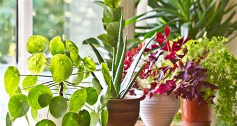 piante e fiori d appartamento piante da appartamento nomi e variet 224