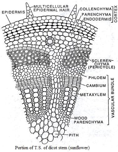 Diagram Of Plant Vascular System