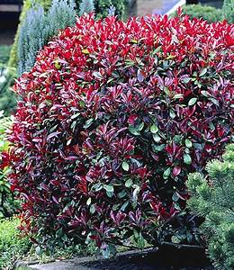 Photinia Red Robin : photinia hecke 39 red robin 39 garten pinterest robins ~ Michelbontemps.com Haus und Dekorationen