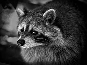 2nd Raccoon With Rabies Found In Middletown | Middletown ...