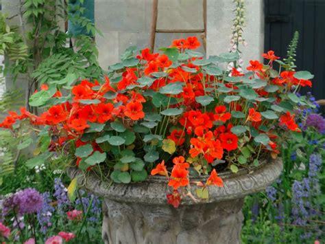 Garden Nasturtium by Tropaeolum Majus Garden Nasturtium World Of Flowering