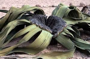 Resultado de imagen de welwitschia mirabilis