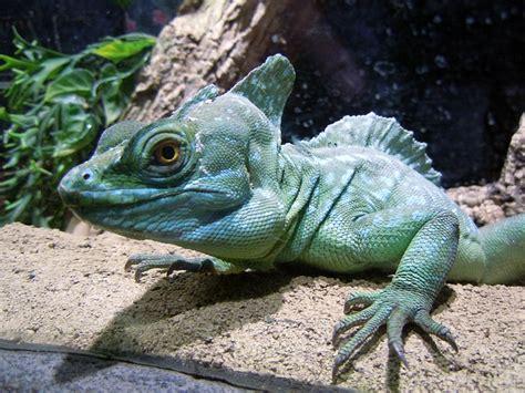 photo basilisk reptile lizard green  image
