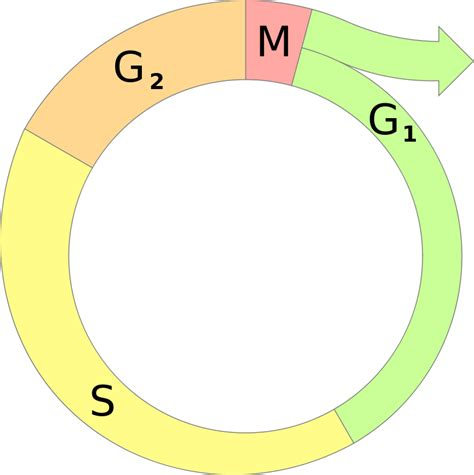 File Cell Cycle Diagram Svg Wikimedia Commons