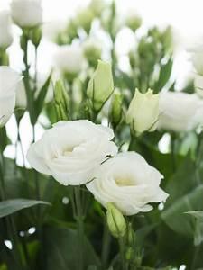 Lang Blühende Pflanzen : lisianthus eustoma rosita white wei garten wei e blumen schnittblumen und tischdeko blumen ~ Eleganceandgraceweddings.com Haus und Dekorationen