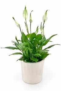 Lavendel Im Topf überwintern : einblatt spathiphyllum pflanzen und pflege ~ Frokenaadalensverden.com Haus und Dekorationen