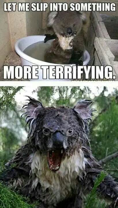 pin  veronique benz  hilarious drop bear koala