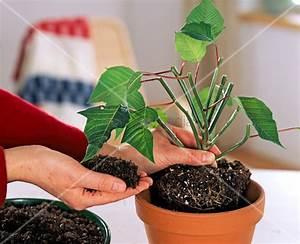 Weihnachtsstern Pflanze Kaufen : weiterkultur von euphorbia pulcherrima weihnachtsstern ~ Michelbontemps.com Haus und Dekorationen