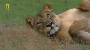 National Geographic Lion GIF - Find & Share on GIPHY