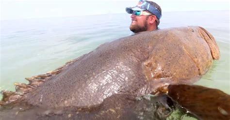 grouper goliath most internet amazing tweet
