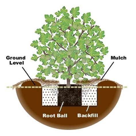 how to plant trees how to plant and grow a fig tree