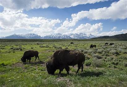 Geographic National Earth Bison Protecting Planet Park