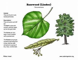 Basswood  Linden