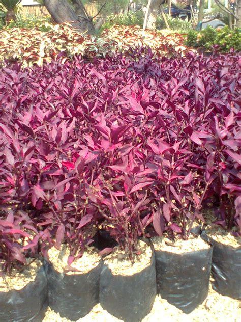 pohon erpah bayam merah tukang taman
