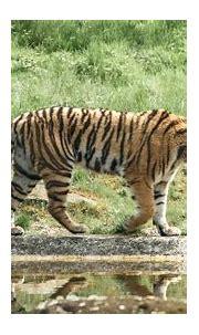 Download wallpaper 1920x1080 tiger, animal, big cat ...