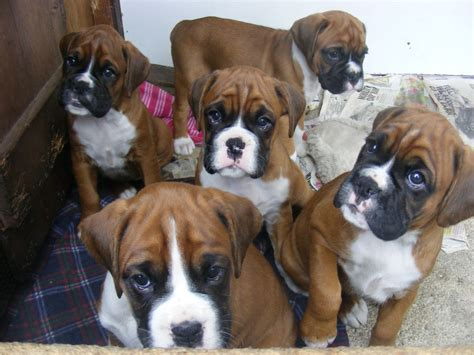 Red White Boxer Puppies Including Bob S Bude