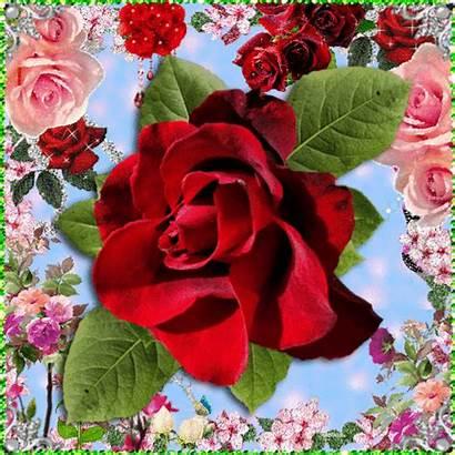 Flores Rosas Lindas Imagenes Animadas Brillo Brillos