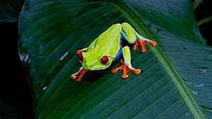 Red-Eyed Tree Frog Facts and Pictures -- National ...