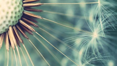 Dandelion Flowers Wallpapers Hd Pictures  One Hd