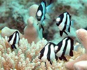 Damselfish Species