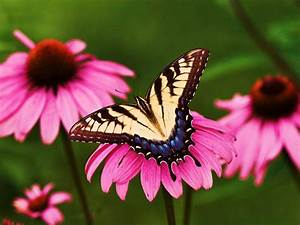 Pictures Of Flowers And Butterflies - Beautiful Flowers