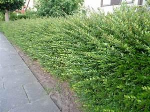 Ilex Hecke Giftig : buchsbaum hnliche pflanzen ~ Lizthompson.info Haus und Dekorationen