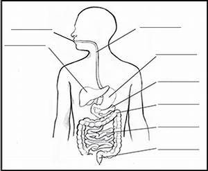 Human Digestive System Drawing At Getdrawings Com