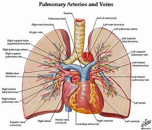 Lung Anatomy Diagram