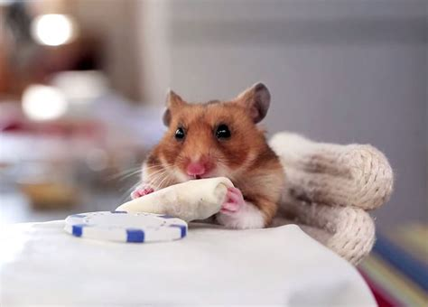 A Tiny Hamster Eating Even Tinier Burritos «twistedsifter