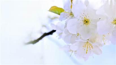Bright Flower Backgrounds Summer Flowers Blossom Cherry