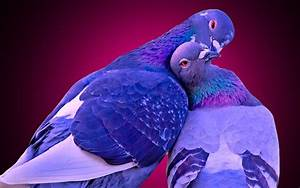 Home love birds kissing images download Love Birds Kissing ...