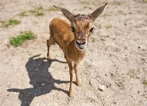 Baby Thomson's Gazelle at Busch Gardens - Animal Fact Guide