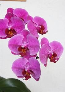 Orchidee Klebrige Tropfen : vergessene sch nheiten teil 2 pinke phalaenopsis hybride ~ Lizthompson.info Haus und Dekorationen