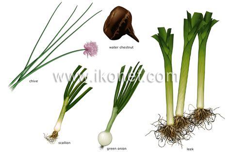 food and kitchen gt food gt vegetables gt bulb vegetables