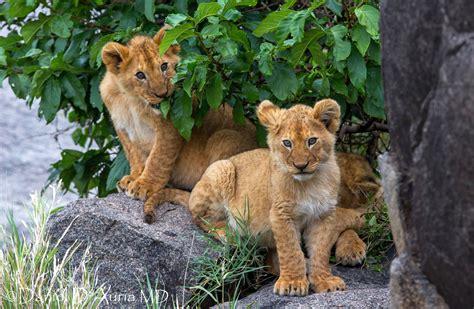 fondos de pantalla de leones wallpapers