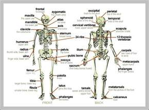 Labeled Anatomy Human Body Diagram