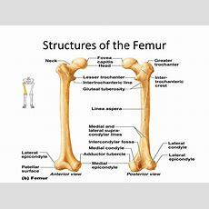 Bones Of The Lower Limb Dr Idara  Ppt Video Online Download