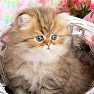 Related Keywords & Suggestions for teacup persian