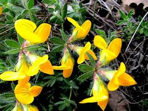 lotier cornicule planter et entretenir ooreka With modeles de rocailles jardin 2 crassula planter et entretenir ooreka