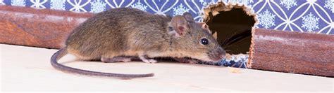 souris dans la maison anticimex souris dans la maison