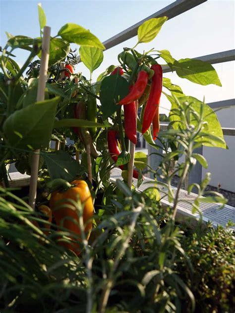 gärtnern mit dem hochbeet paprika selbst anbauen paprika und chilis selbst anbauen paprika selbst anbauen vom