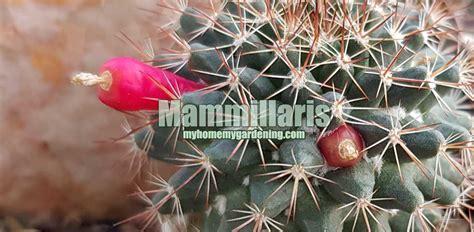 แมมดอกพิกุล แคคตัสชื่อไทย