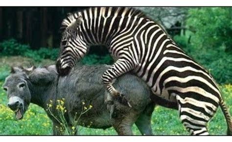 zebras donkey zebra mating animals animal donkeys hybrid breeding funny food pets baby visit cute dog fishing