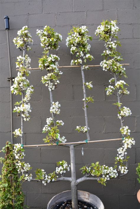 pear espalier espaliered fruit trees small space orchard garden