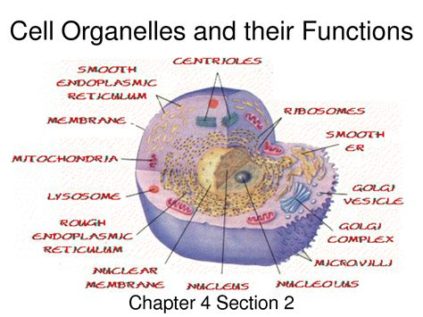 6 Best Images Of Animal Cell Organelles Functions Chart  Cell Organelles And Their Functions